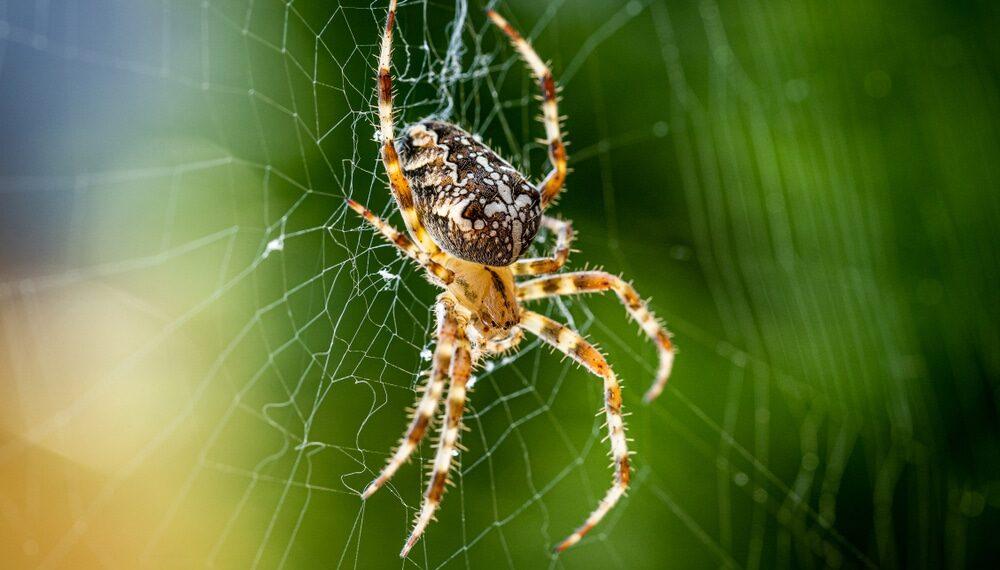 Aranhas podem neutralizar cobras com centenas de vezes o seu tamanho, diz estudo