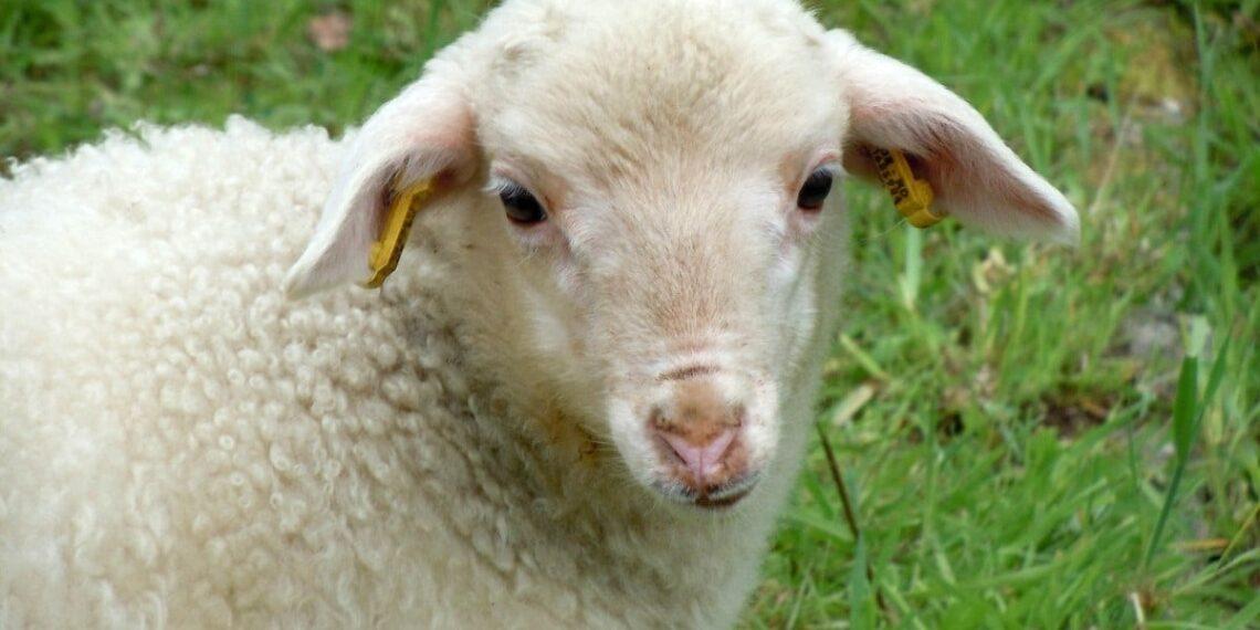 Castração atrasa o envelhecimento em ovelhas e homens, dizem cientistas